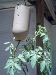Tomato (6)